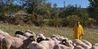 Koyunlarını CHP amblemiyle boyadı