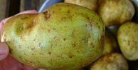 Patatesler böyle görünüyorsa hemen atın!