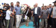 Sultangazi'de en güzel kurbanlık yarışması