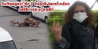 Sultangazi'de köpek dehşeti! İşe giden kadına saldırdılar