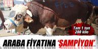 Sultangazi'nin 'şampiyon' kurbanlığı 1 ton 280 kilo